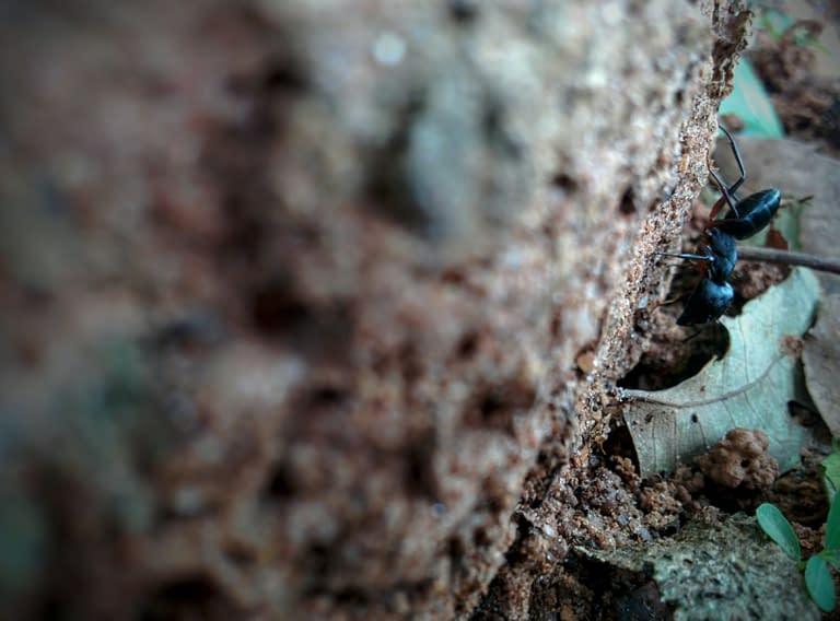 Big ant