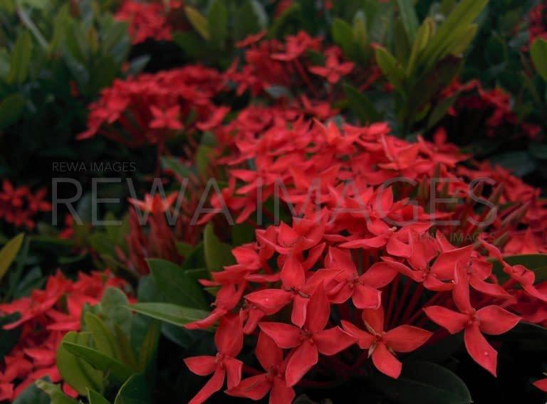 Jungle geranium flowers